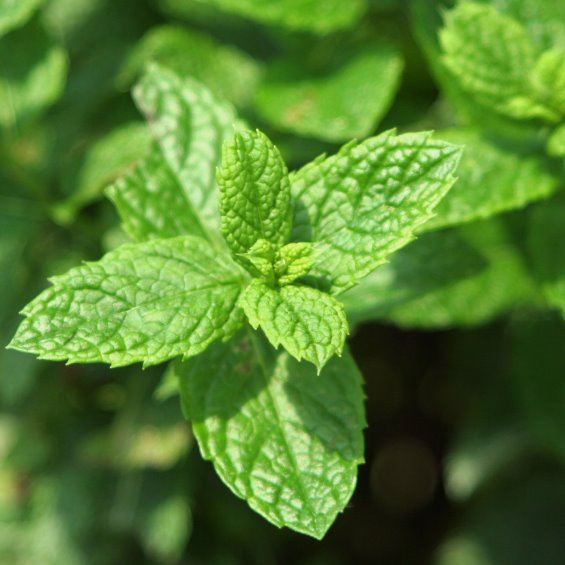 Growing Australian Native Plants: Growing Mint (Garden Mint) In USA