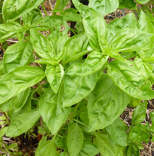 Growing Australian Native Plants: Growing Basil In Australia