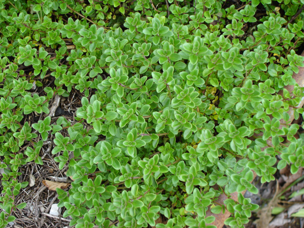 Growing Oregano (Pot Marjoram) in USA - Zone 5a climate